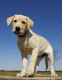 Puppy labrador Stock Photography