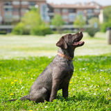 Puppy labrador black retriever dog. Stock Image