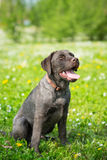 Puppy labrador black retriever dog. Stock Photo