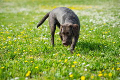 Puppy labrador black retriever dog. Stock Images