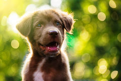 puppy labrador with bokeh background Royalty Free Stock Images