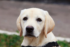 The puppy of labrador Stock Photography