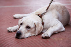 The puppy of labrador Royalty Free Stock Images