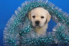 Puppy Labrador met een klatergoud van Kerstmis. Stock Foto