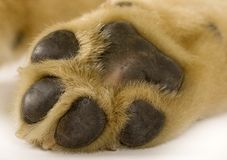 Puppy labrador paw Stock Images