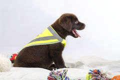 Puppy of labrador Royalty Free Stock Photography