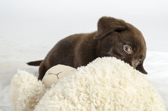 Puppy of labrador Royalty Free Stock Photos
