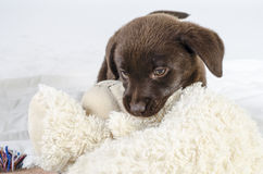 Puppy of labrador Stock Photos