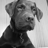 Puppy Labrador. Portrait Royalty Free Stock Photos