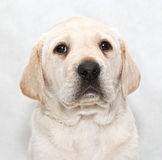 Puppy Labrador Royalty Free Stock Image