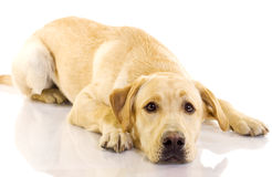 Puppy Labrador retriever Royalty Free Stock Image