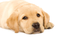 Puppy Labrador retriever Royalty Free Stock Photography
