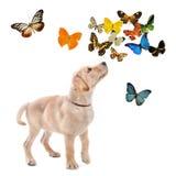 Puppy labrador retriever Stock Images