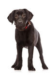 Puppy Labrador retriever stock photos