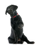 Puppy Labrador retriever Stock Image