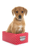 Puppy labrador retriever in box Stock Photography