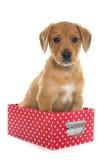 Puppy labrador retriever in box Stock Photography