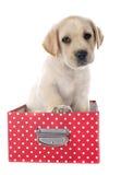 Puppy labrador retriever in box Stock Photo