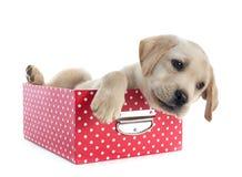 Puppy labrador retriever in box Stock Photos