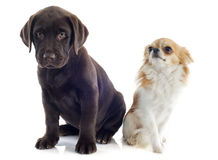 Labrador retriever and chihuahua Stock Images