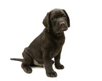 Puppy Labrador retriever chocolate color on a white background Stock Images