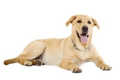 Puppy Labrador retriever cream Royalty Free Stock Image