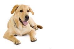 Puppy Labrador retriever cream - copyspace Stock Photos