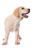 Puppy labrador retriever Royalty Free Stock Images