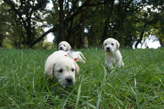Puppy labrador retriever. On the grass Royalty Free Stock Photos