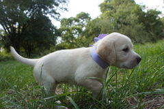 Puppy labrador retriever. On the grass Royalty Free Stock Images