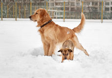 Puppy and labrador retriever playing Stock Images