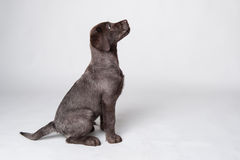 Puppy labrador retriever portrait. Stock Images