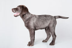 Puppy labrador retriever studio. Royalty Free Stock Photos