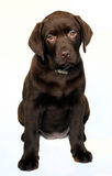 Puppy labrador retriever Royalty Free Stock Photos