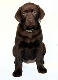 Puppy labrador retriever Royalty Free Stock Photo
