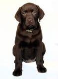 Puppy labrador retriever. On white Royalty Free Stock Photo