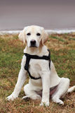 The puppy of labrador Royalty Free Stock Photo