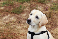 The puppy of labrador Stock Photo