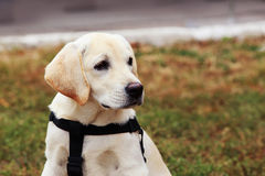 The puppy of labrador Royalty Free Stock Photography