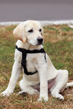 The puppy of labrador Royalty Free Stock Photos