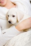 Puppy of labrador sits on the hands of woman Royalty Free Stock Image