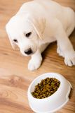 Puppy of Labrador sitting near his bowl with food Royalty Free Stock Photography