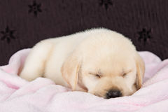 Puppy labrador sleeping on pink fluffy blanket Stock Photography