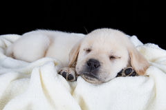 Puppy labrador sleeping on white fluffy blanket Stock Image