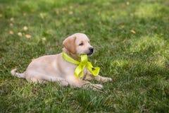 Puppy Labrador Stock Photos