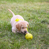 Puppy Labrador Stock Photo