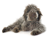 Puppy Lagotto Romagnolo Royalty Free Stock Image
