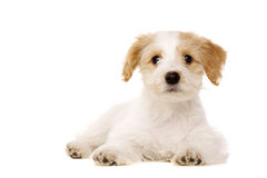 Puppy laid isolated on a white background Royalty Free Stock Images