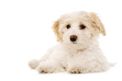 Puppy laid isolated on a white background Royalty Free Stock Photo