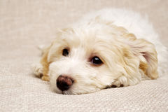 Puppy laid on a textued beige background Stock Photos
